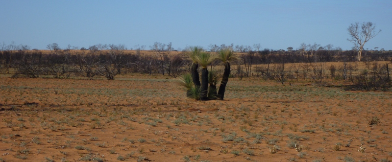 Grass Trees in burnt country